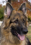 German Shepherd Portrait. A beautiful head shot portrait of a German Shepherd stock photography