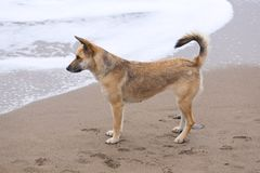 German shepherd Portrait Royalty Free Stock Photo