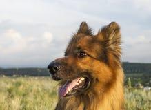 German Shepherd. Portrait of a German Shepherd Royalty Free Stock Photo