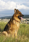 German Shepherd. Portrait of a German Shepherd Stock Photo
