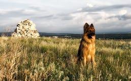 German shepherd. Portrait of a German Shepherd on a background of nature Stock Photos