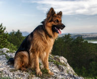 German shepherd. Portrait of a German Shepherd on a background of nature Royalty Free Stock Image