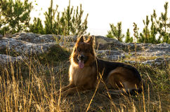 German shepherd. Portrait of a German Shepherd on a background of nature Stock Photography