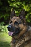 German Shepherd. Portrait of beautiful German Shepherd royalty free stock photos