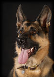German shepherd portrait. On black background - 1 year old Royalty Free Stock Photos