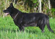 German Shepherd. Stock Photography