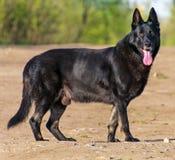 German Shepherd. Stock Images