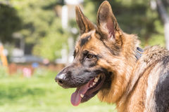 German shepherd portrait. Stock Image