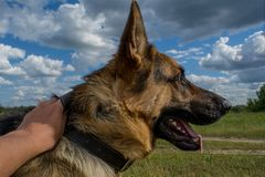 German shepherd portrait close up photo. At the field in Ukraine Royalty Free Stock Photography