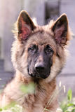 German Shepherd Portrait Stock Images
