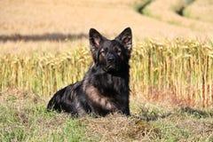 German shepherd portrait Royalty Free Stock Photo