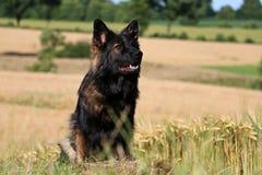 German shepherd portrait Royalty Free Stock Images
