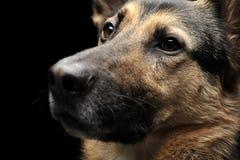 German shepherd portrait in the dark background Royalty Free Stock Photo