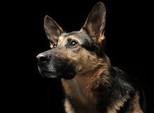 German shepherd portrait in a dark photo studio Royalty Free Stock Photos