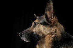 German shepherd portrait in the dark studio Stock Photos