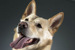 German shepherd portrait in a dark studio Stock Photos