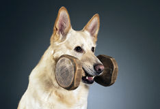 German shepherd portrait in a dark studio Royalty Free Stock Photography