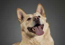 German shepherd portrait in dark studio Stock Image