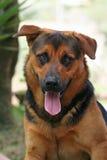 German shepherd Royalty Free Stock Images