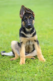 German Shepherd Stock Photos