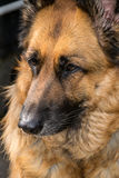 German Shepherd. Portrait of a German Shepherd Dog Royalty Free Stock Images