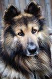 German Shepherd. Portrait of German Shepherd dog Stock Photo
