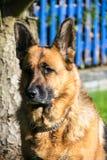 German Shepherd. Portrait of a German Shepherd Dog Royalty Free Stock Image