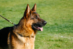 German shepherd. Portrait of german shepherd on the grass background stock photos