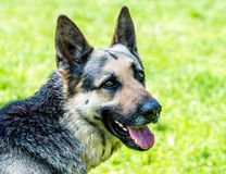 German shepherd portrait. Stock Photos