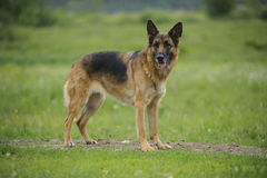 German shepherd portrait outdoor. Static Royalty Free Stock Images