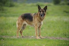 German shepherd portrait outdoor Royalty Free Stock Images