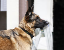 German Shepherd portrait outdoors. Pure breed german shepherd dog is listening to the person, waiting Royalty Free Stock Images