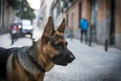 German Shepherd. Portrait of purebred german shepherd Stock Photos