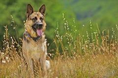 German Shepherd Royalty Free Stock Photo
