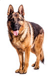 German Shepherd. Portrait of a german shepherd on a white background Stock Images