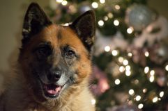 German shepherd posing during her christmas photo shoot royalty free stock photography