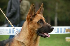 German Shepherd at the presentation stock photography