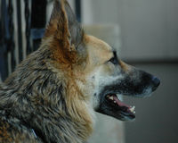 German shepherd profile. A profile of a German Shepherd royalty free stock photos