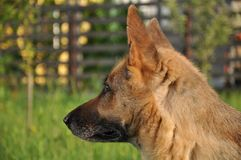 German Shepherd Profile Stock Image