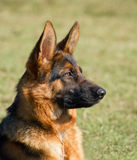 German shepherd profile Royalty Free Stock Photo