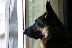 German Shepherd profile royalty free stock photography