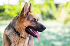 German Shepherd in profile with a protruding tongue. stock photo