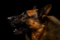 German shepherd in profile view. Isolated on black background Royalty Free Stock Photography