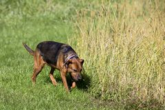 German Shepherd and Puggle mixed breed dogs. royalty free stock images