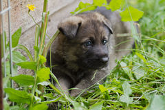 German shepherd pup stock photography