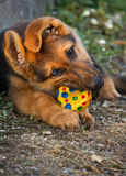 German shepherd pup Stock Image