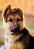 German shepherd pup Stock Photos