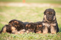 German shepherd puppies. Group German shepherd puppies closeup stock photos