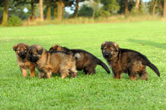 German shepherd puppies. A gang young german shepherds playing together on a green meadow stock photography