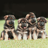 German Shepherd puppies. Four German Shepherd puppies royalty free stock photography
